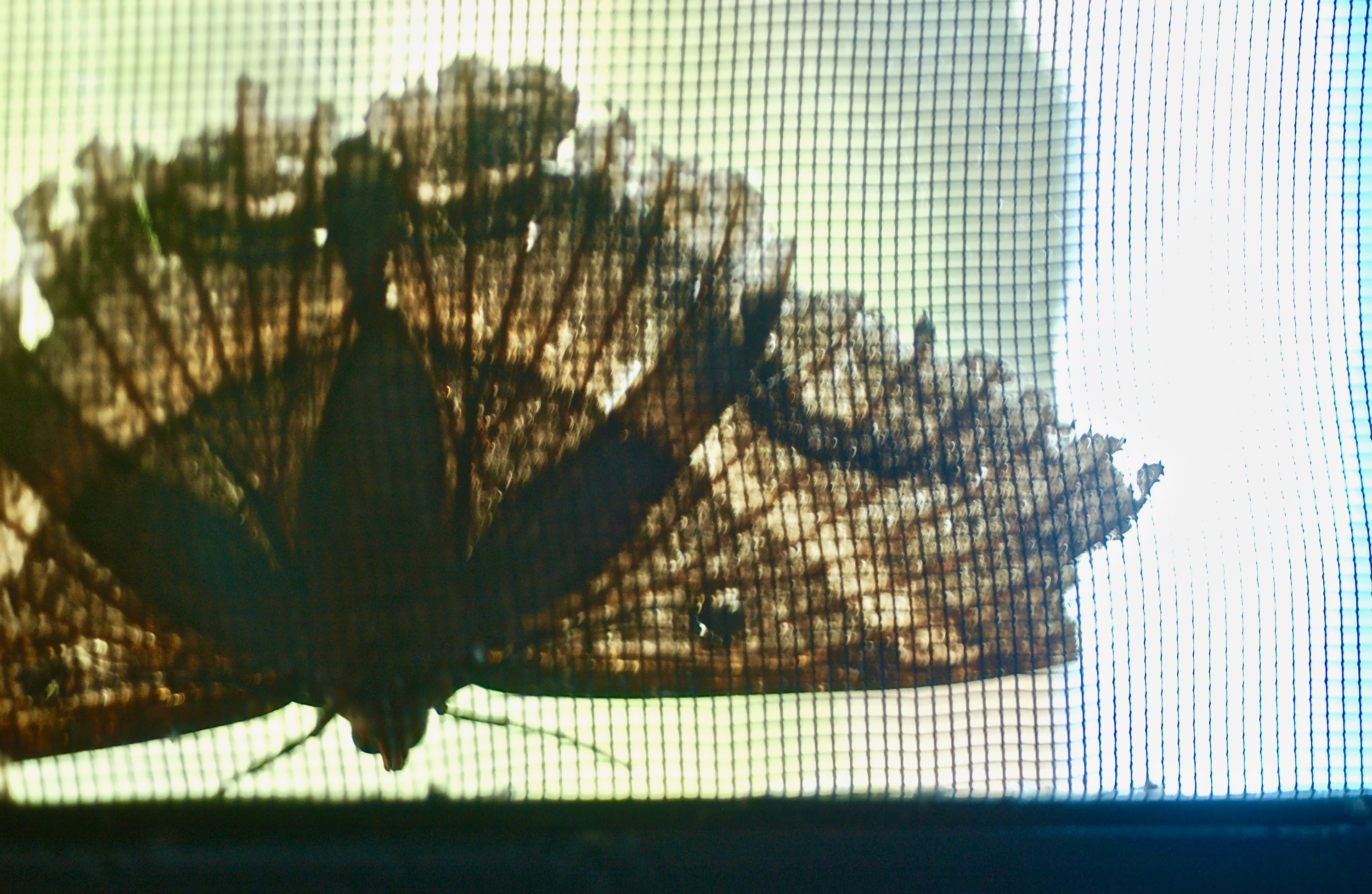 Moth in Daylight; Bordeaux Mountain; Coral Bay, St. John, U.S. Virgin Islands, USA