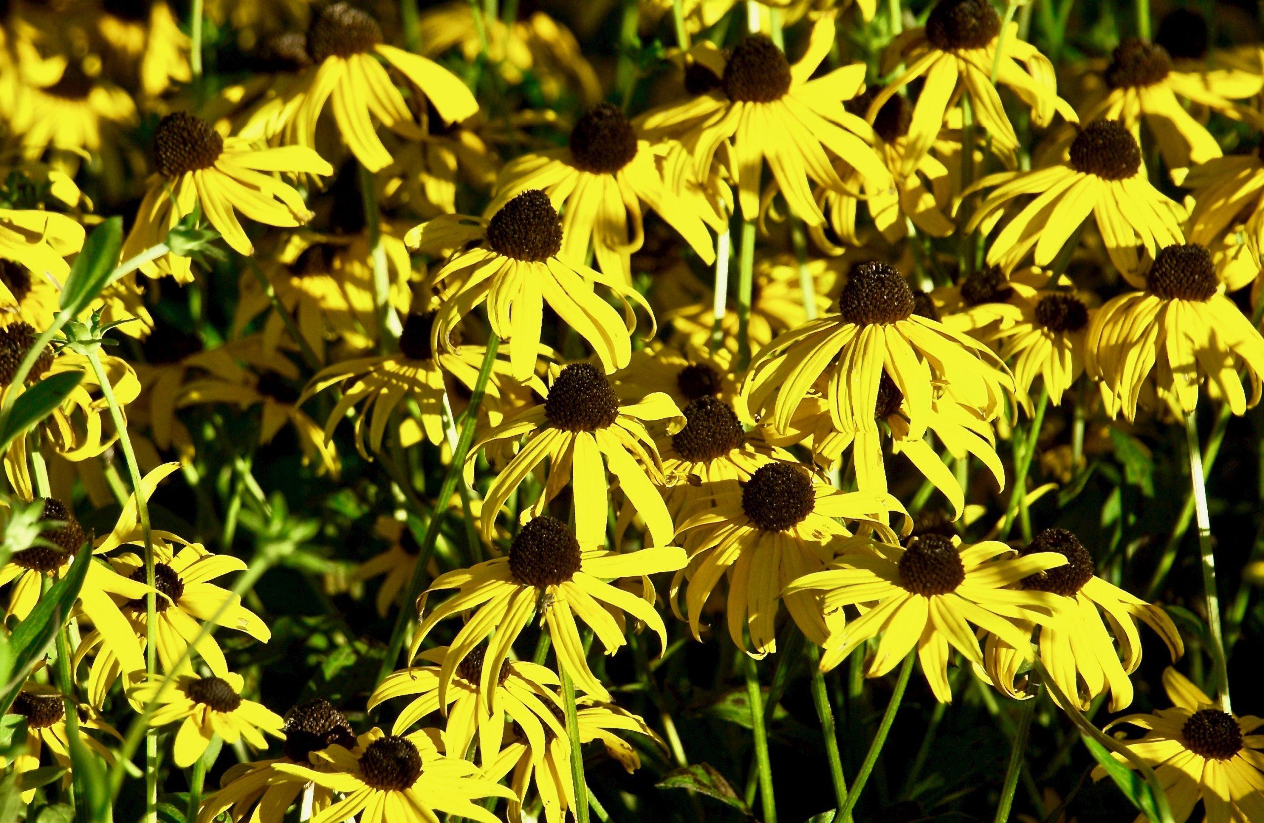 Brown-eyed Susans; Ocean Park; Oak Bluffs, Martha's Vineyard, Massachusetts, USA