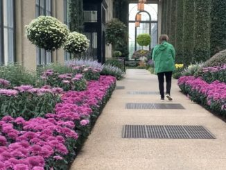 Thousands of mums line Longwood Gardens