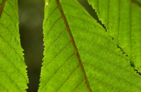 Serrated edges; horse chestnut leaves; Vineyard Haven, Martha's Vineyard Island, Massachusetts, USA. June 2010.