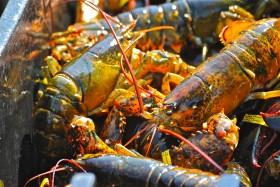 Making its way; lobster; Menemsha Harbor, Martha's Vineyard, Massachusetts, USA. September 2008.