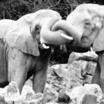 """Elephants"" Juliet Sabella, Basic Photography Fall 2006"