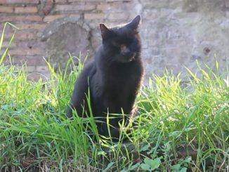 A stray cat living in the Torre Argentina Cat Sanctuary in Rome