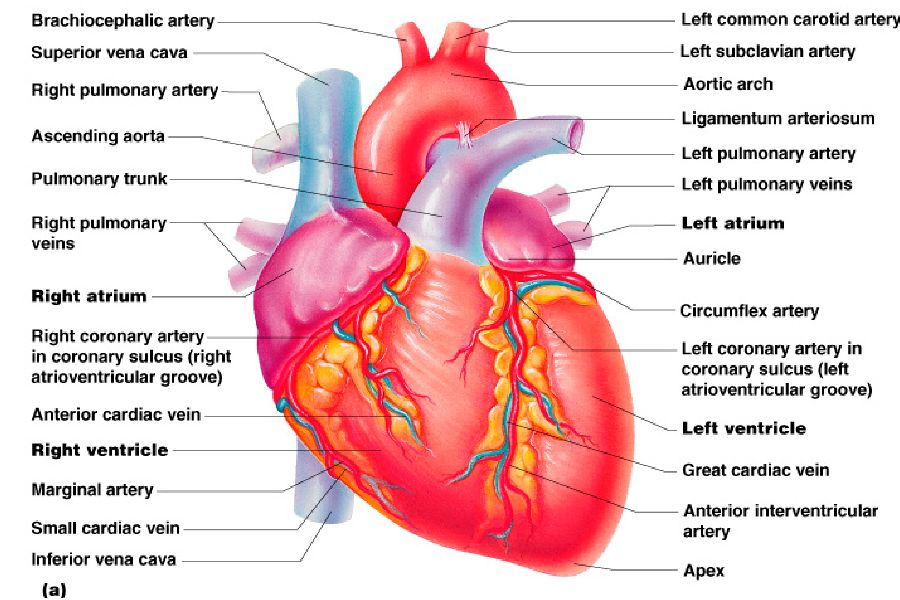 Gi Physiology For Lab furthermore 6412973 as well Blood Supply Of Brain Anatomy Blood Supply Of The Brain Royalty Free Cliparts Vectors And further Mitral Valve Regurgitation further The Heart Ppt. on human circulatory system ppt