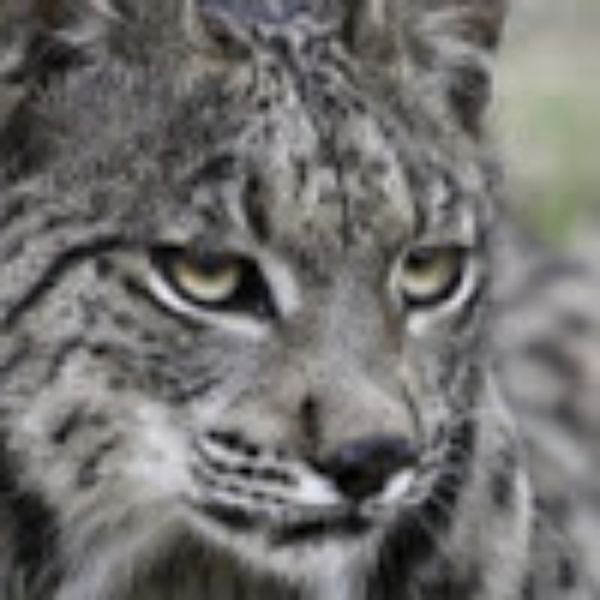 LynxAntares