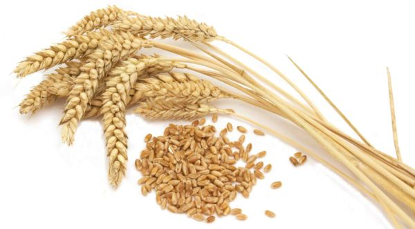 Egypt changes stance on ergot, again