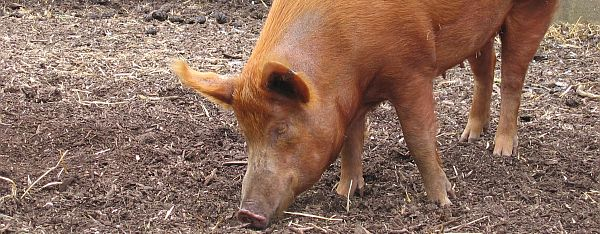 Foes of Missouri hog farm proposal win court ruling