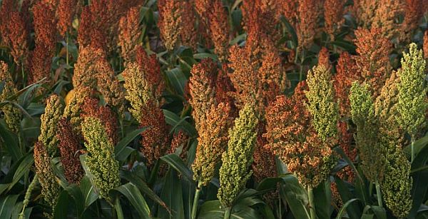 Sorghum industry starting research and marketing program