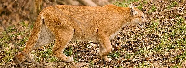 Mountain Lion Sighted in DeKalb Co.