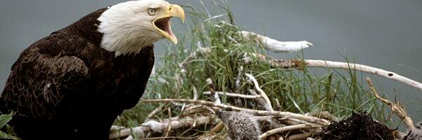 Bald Eagle Shot In Rural Clinton County
