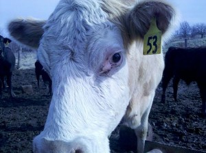 Cow Buttercup