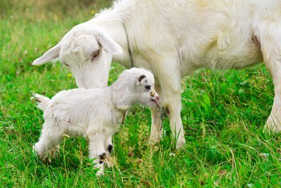 10665944-cute-white-goat-kid-with-mother-goat-on-a-farm