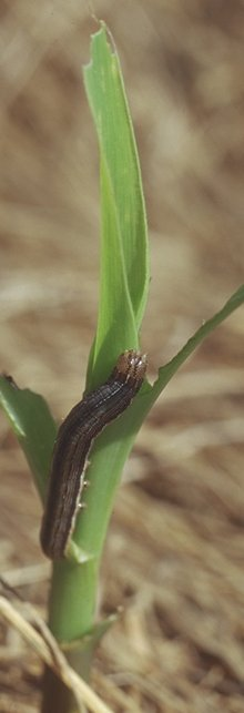Damage from armyworms being reported in many northwest Missouri counties