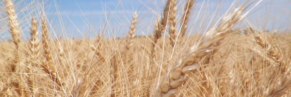 France facing 30-year low in wheat yields