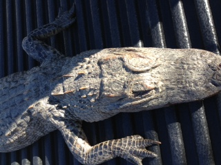 Conservation Agent Discusses Alligator Found in Hardin