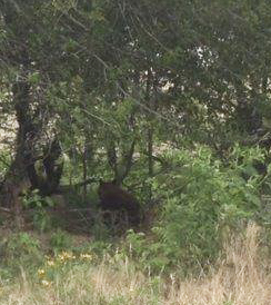 Black Bear Spotted in Benton County