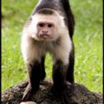 What a White-Faced Capuchin monkey looks like.