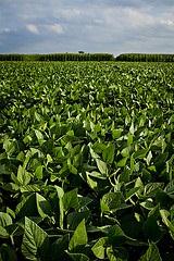 Simplifying Soybean Genetics