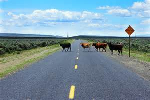 Cattle Blocking Traffic