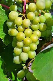 Vignoles grape making a rise in Missouri