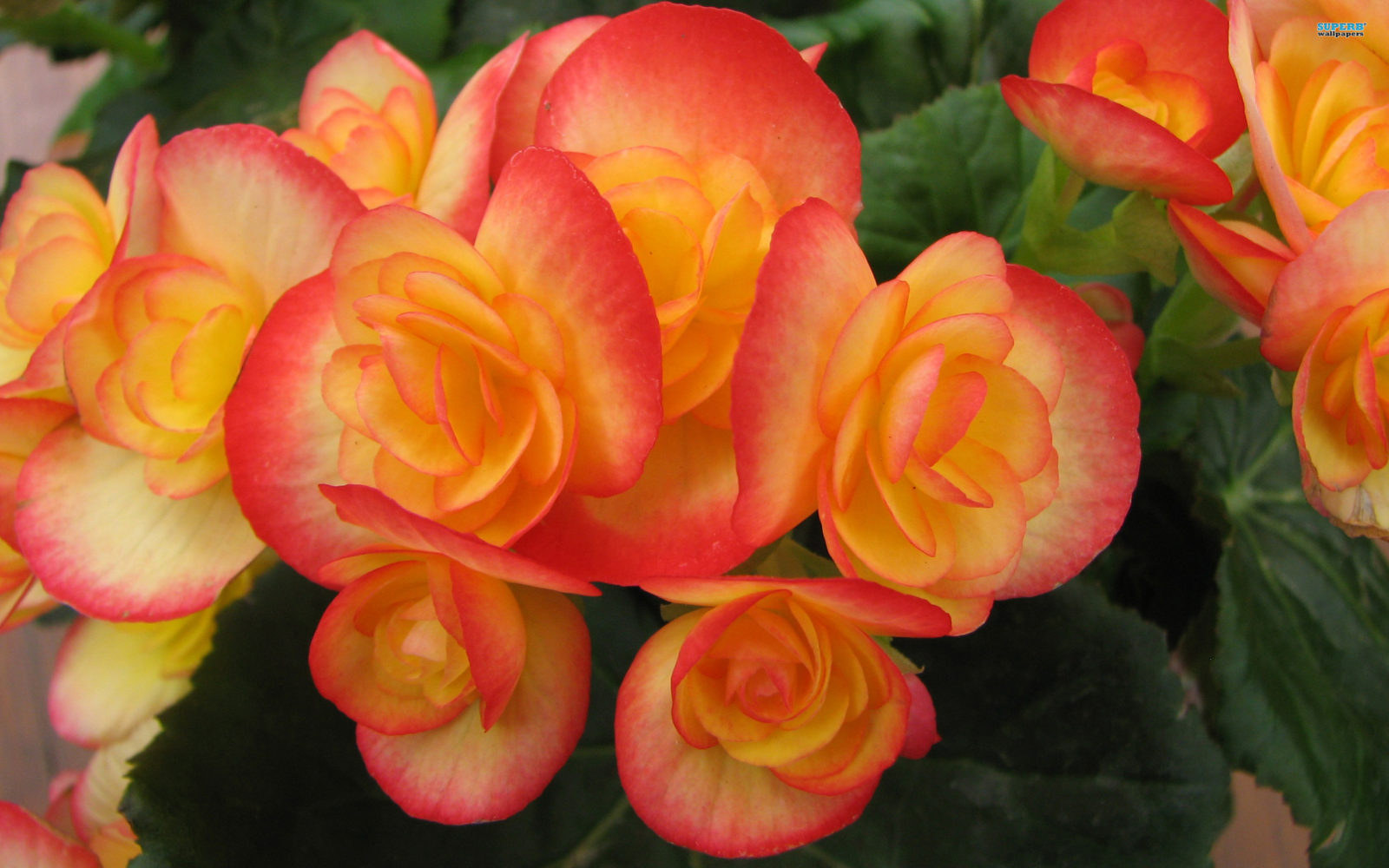 Begonia named 2016's Flowering Annual