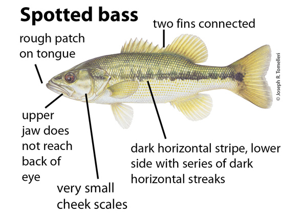 Regulations change for spotted bass at Truman Lake