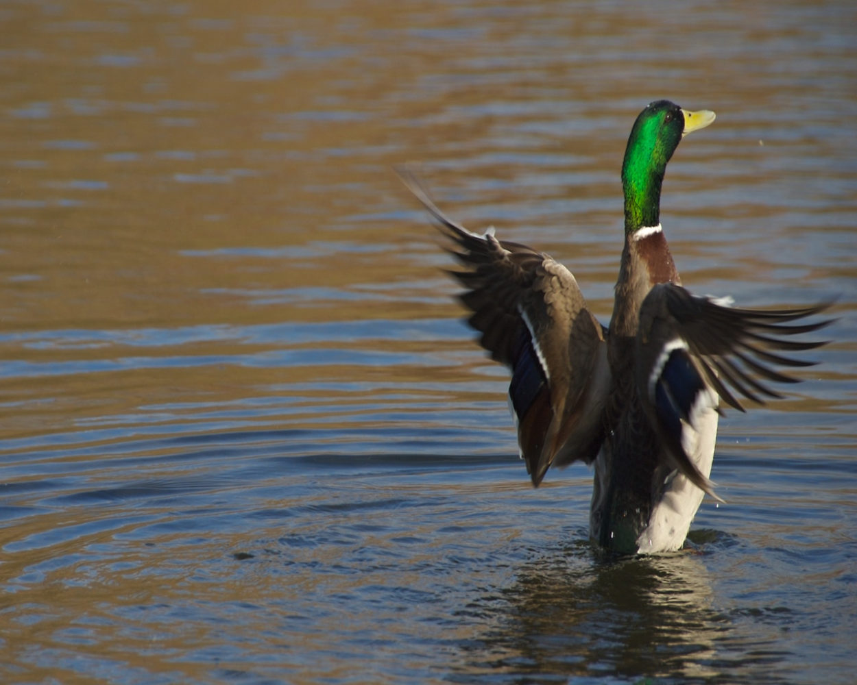 Missouri Department of Conservation will hold waterfowl workshops in Carrollton and St. Joseph