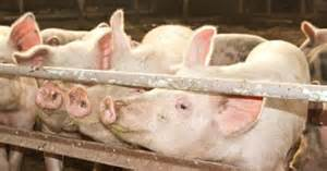 COOL Repeal means more live hog imports