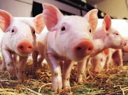 Modest pork expansion in June survey