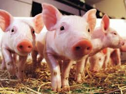 America's Pig Farmer of the Year applications due this month