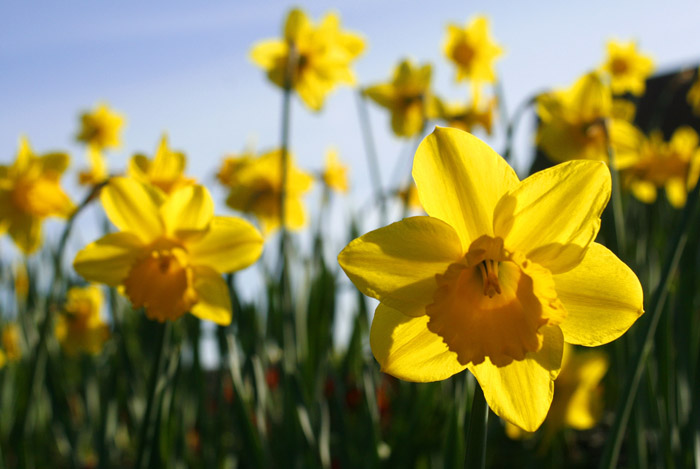 How to care for spring-flowering bulbs