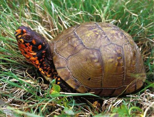 MDC encourages motorists to watch for turtles on Missouri roadways
