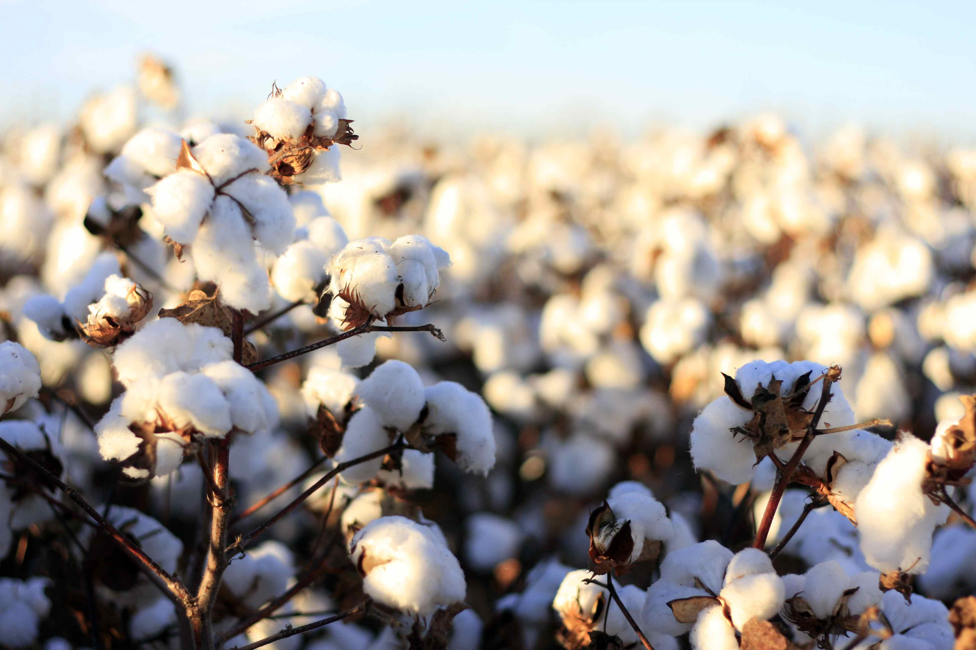 Monsanto pulls GM cottonseed application in India