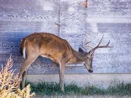 Hunters required to take harvested deer to sampling station to eliminate spread of CWD