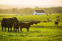 Beef genetics education national essay contest