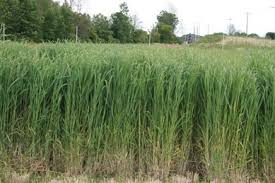 Switchgrass said to improve soil quality