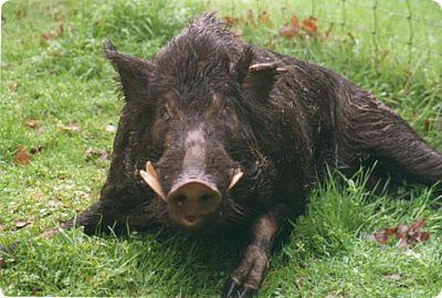 Newsmaker — Missouri's pesky pig problem subject of awareness campaign