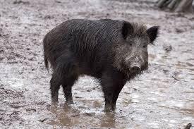 Mississippi hog-dog rodeo busted