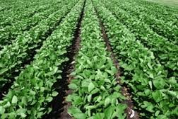 Partnership formed to bring Missouri's non-GMO high oleic soybean technology to growers