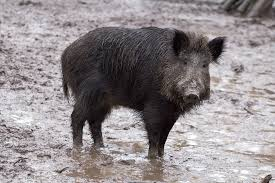 First quarter feral hog numbers are in