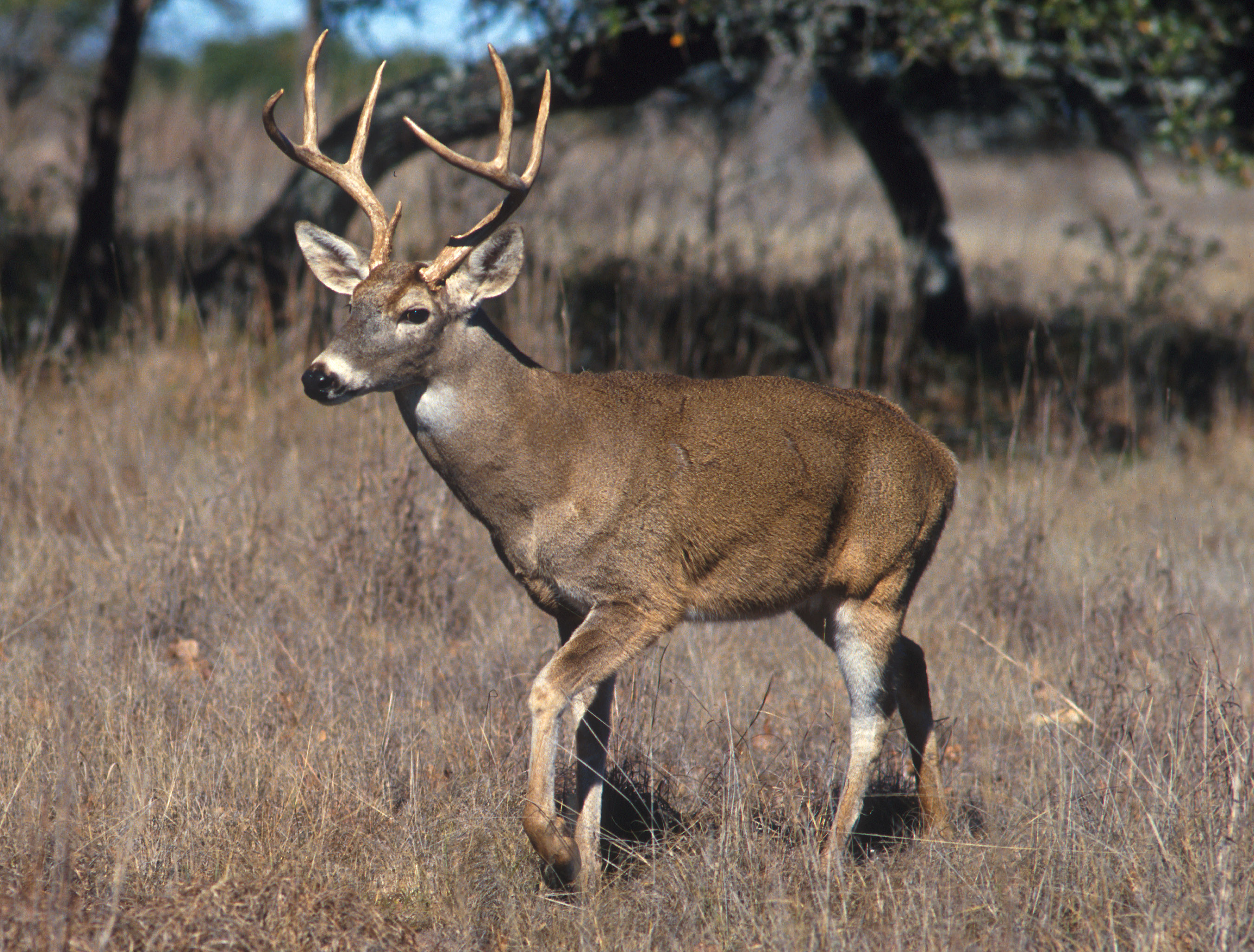 MDC expands deer feeding ban to 41 counties in response to chronic wasting disease