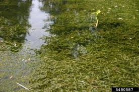 Help stop the spread of hydrilla