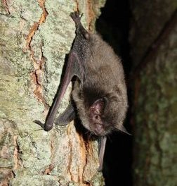 Save MO Species: before the bats disappear