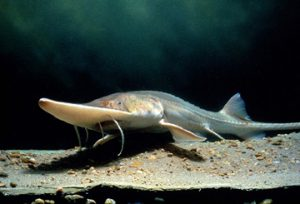 Save MO Species: preserving the Pallid Sturgeon