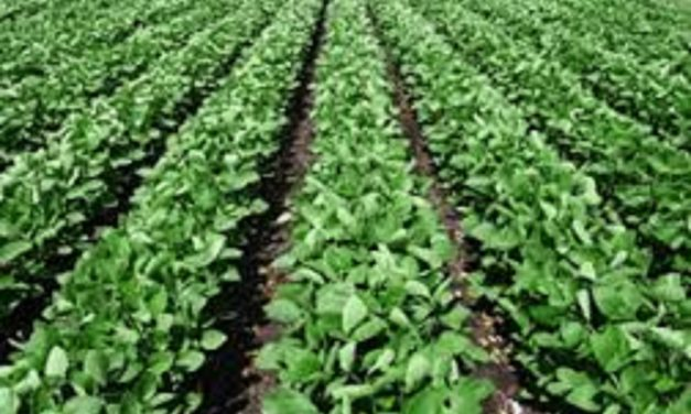 Plant soybeans into live cover crops with wet fields