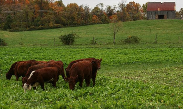 Cattle farmers: use warm-season grasses to extend the grazing season