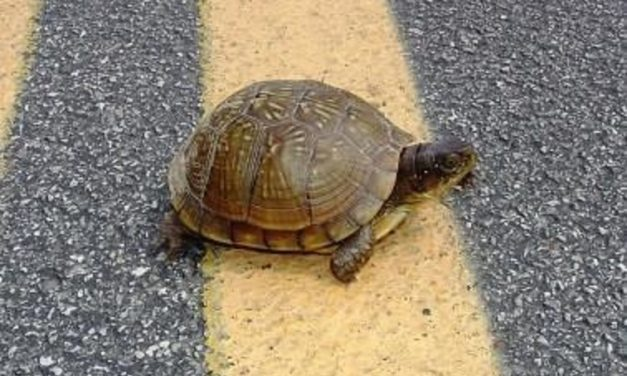 MDC advises motorists to slow down for turtles on Missouri roads