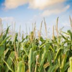 Nitrogen application should not interfere with planting schedule