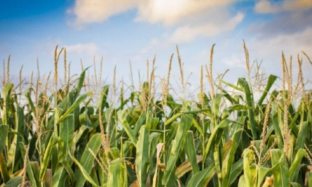 Delayed planting caused by flooding could still yield a marketable crop