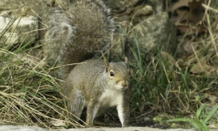 Squirrel and Black Bass seasons announced by MDC